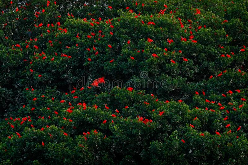 Scarlet Ibis, Eudocimus ruber, exotic red bird, nature habitat, bird colony sitting on the tree, Caroni Swamp, Trinidad and Tobago stock photos