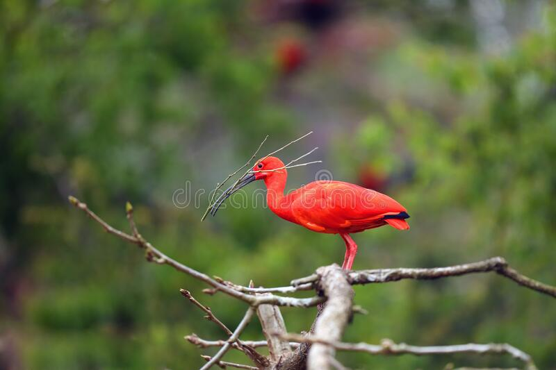 Scarlet ibis Eudocimus ruber sitting on the branch with a twig in its beak. Red ibis in green background.Red ibis builds. The scarlet ibis Eudocimus ruber royalty free stock images