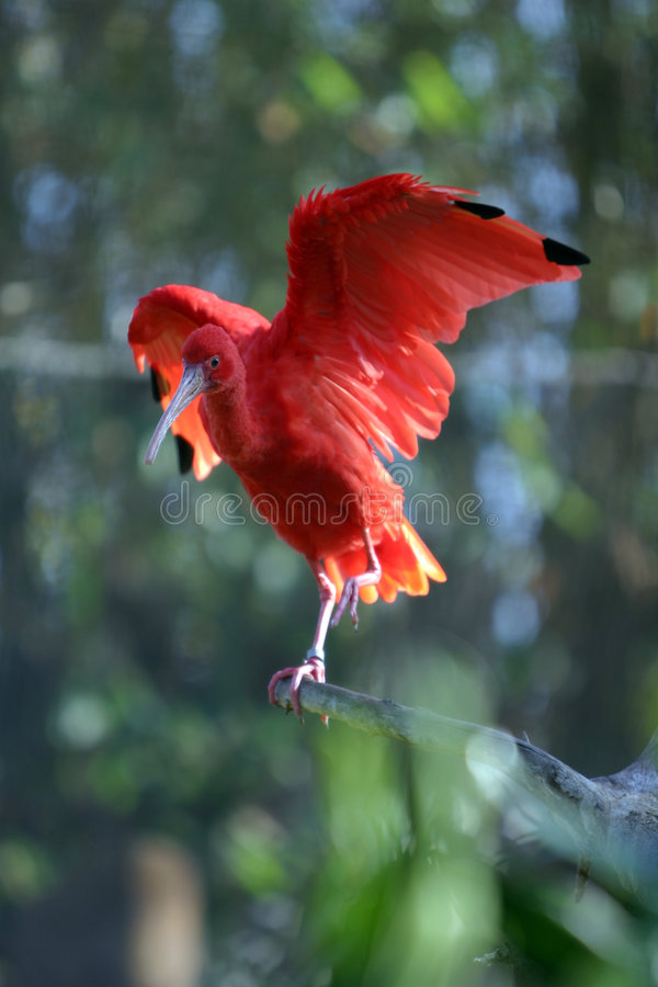 'Scarlet Ibis' 'Eudocimus ruber' stands on a tree branch. A beautiful red 'Scarlet Ibis' 'Eudocimus ruber' stands on a tree branch and streches its wings in the stock image