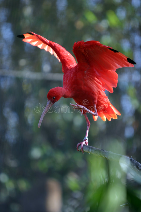 Scarlet Ibis Eudocimus ruber stands on a tree branch. A beautiful red Scarlet Ibis Eudocimus ruber stands on a tree branch and streches its wings while getting stock image