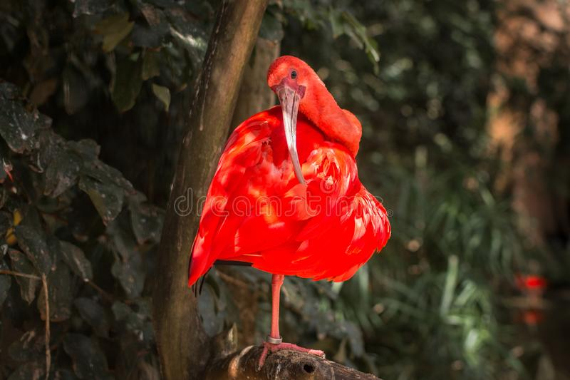 Wild Amazon Rainforest bird Scarlet Ibis, Eudocimus ruber, wild tropical bird of Brazil isolated in the forest in Parque das Aves stock images