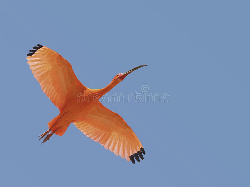 Scarlet ibis in flight stock photography