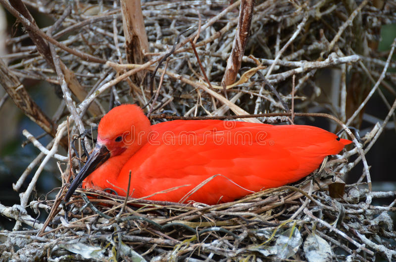 Scarlet ibis sitting on nest of twigs. The scarlet ibis Eudocimus ruber is a species of ibis in the bird family Threskiornithidae. It inhabits tropical South royalty free stock photo