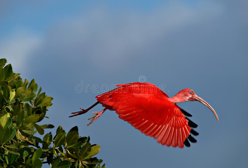 A scarlet ibis takes flight. A scarlet ibis Eudocimus ruber takes flight from green mangroves with a blue sky background stock photography
