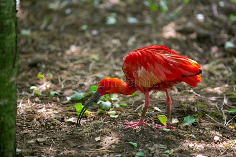Scarlet Ibis fotografie stock
