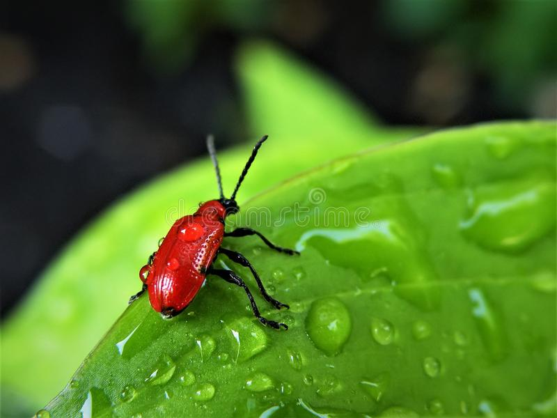 Scarlet Lily Leaf Beetle. Little red beetle on lily leaf wet with water. While beautiful, these pests eat the leaves, buds, stem, and flower of Lilies royalty free stock image
