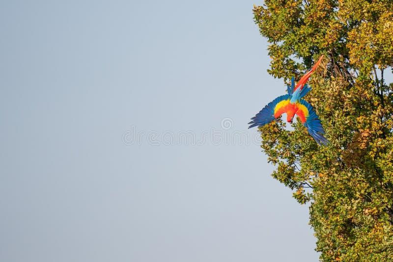Scarlet macaw που πετάει κάτω από το δέντρο με κενό στοκ φωτογραφία