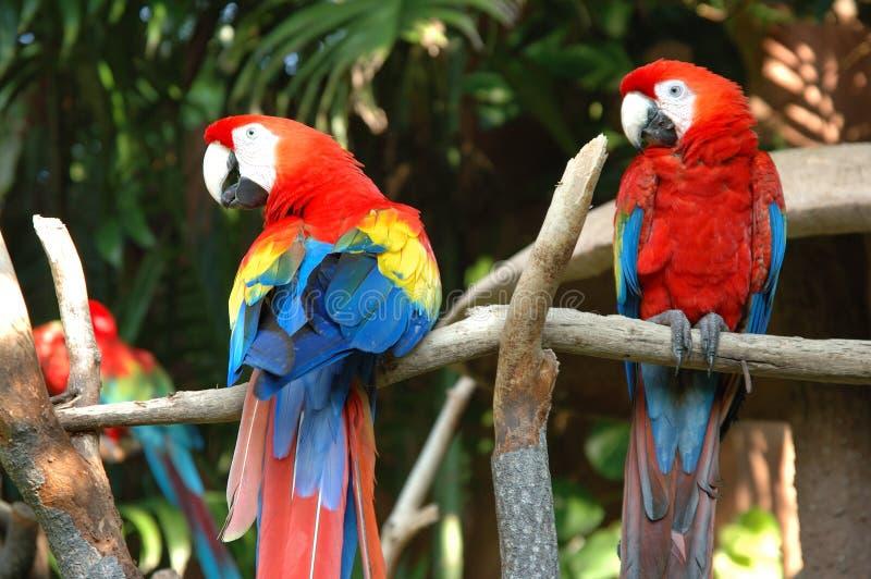 Scarlet Macaw Royalty Free Stock Photo