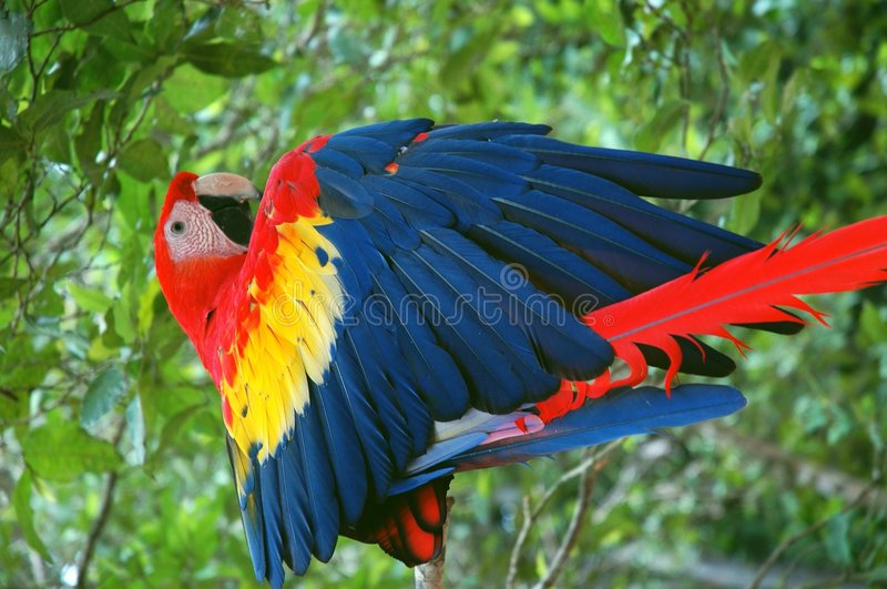 A Scarlet Macaw stock image