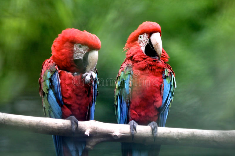 Download Scarlet Macaw stock image. Image of bird, forest, macaw - 14415533