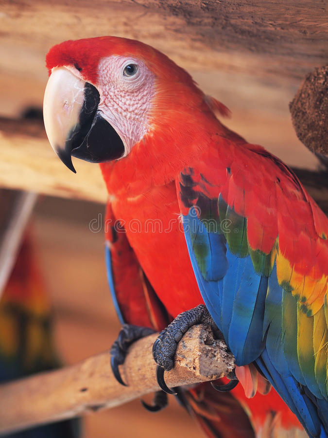 Scarlet Macaw. In Marasha natural Reserve, Amazonas, Peru royalty free stock photos