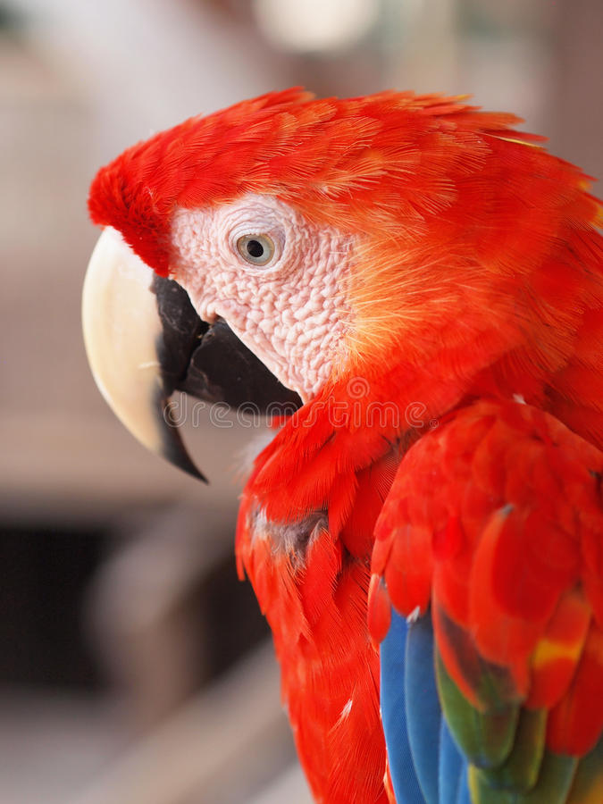 Download Scarlet Macaw stock image. Image of bird, macao, south - 25619371