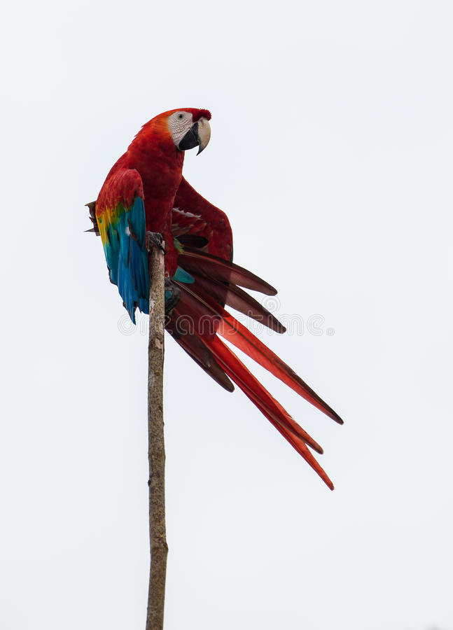 Download Scarlet Macaw Stock Photo - Image: 26445750
