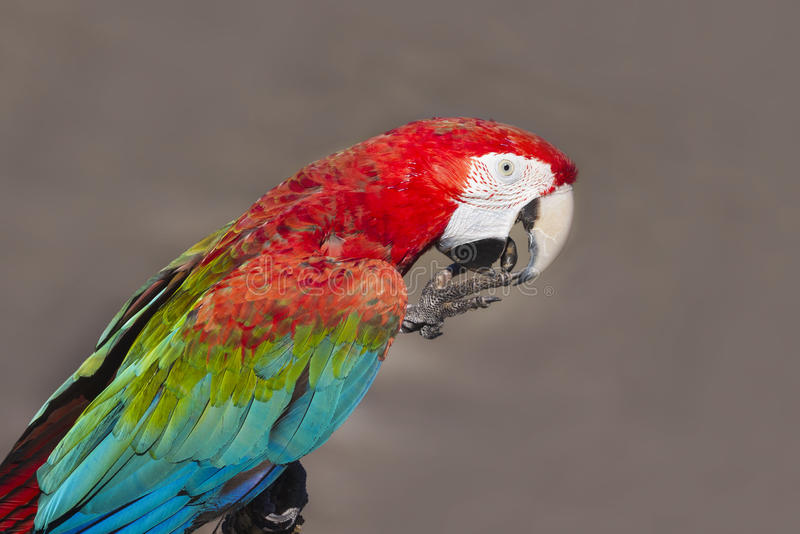 Download Scarlet macaw stock photo. Image of roost, parrot, natural - 27444018