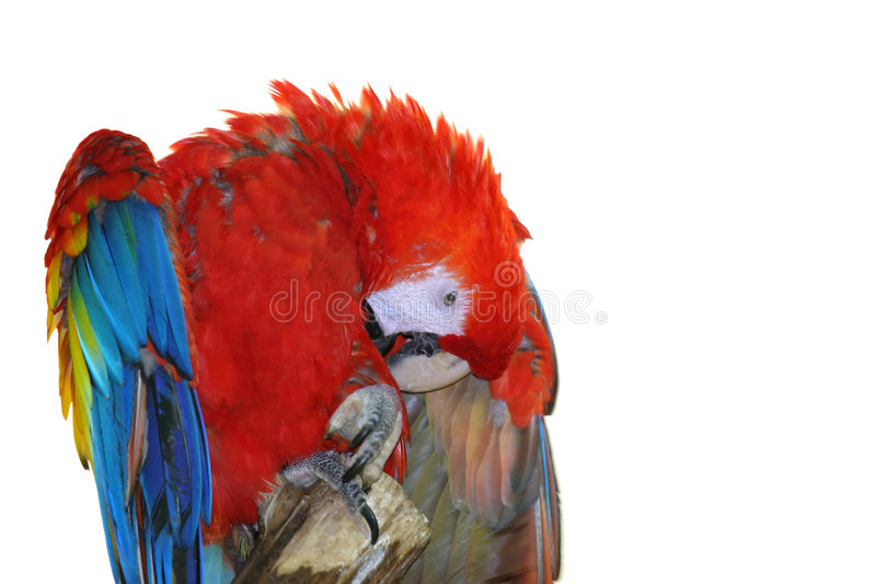 Download Scarlet Macaw stock photo. Image of colourful, clean, exotic - 370122