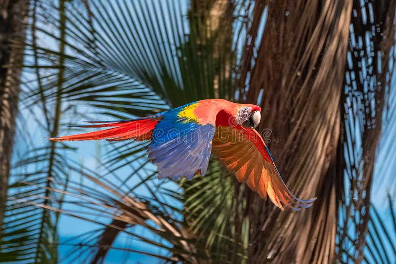 Scarlet macaw, parrot stock images