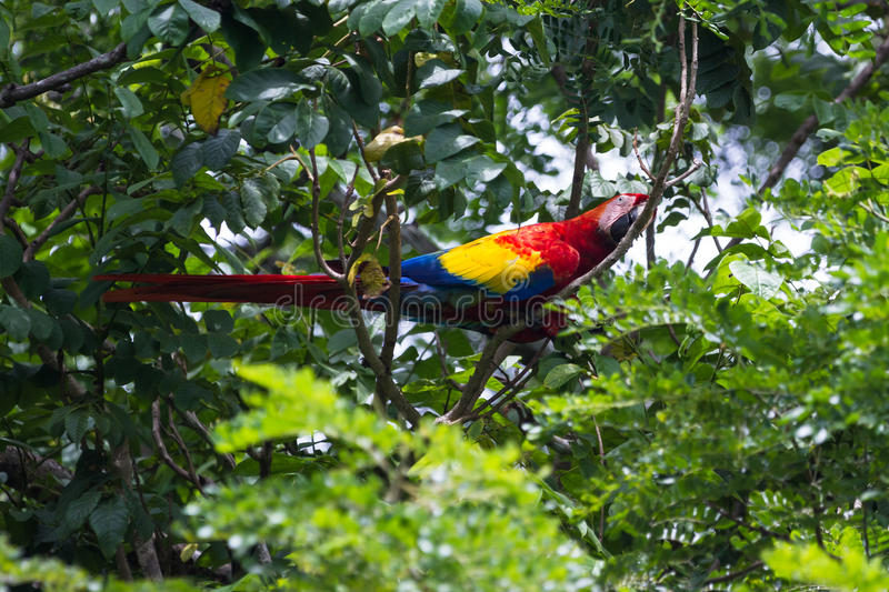 Scarlet macaw - ara macao. Beautiful wild scarlet macaw perched on a tree in the pacific coast of Costa Rica stock photography