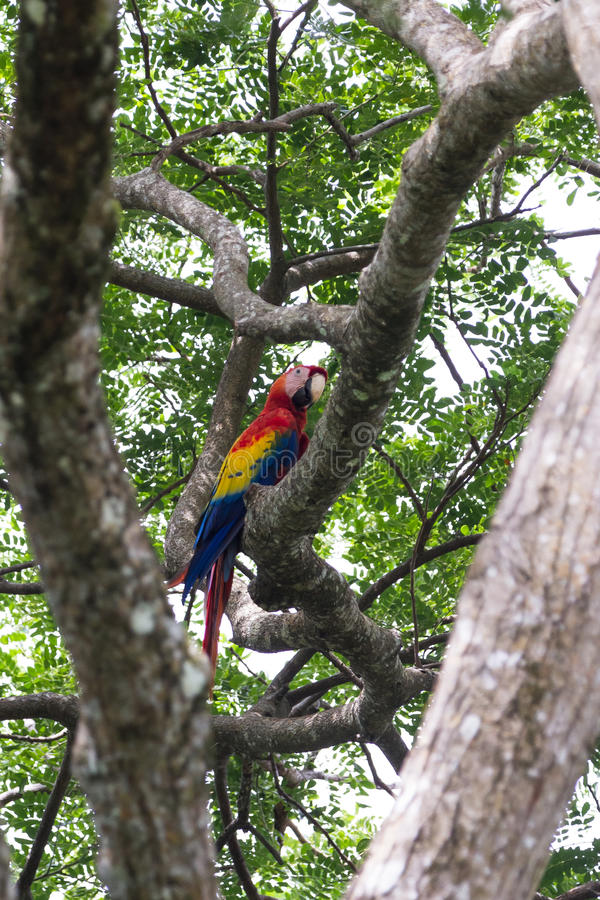 Scarlet macaw - ara macao. Beautiful wild scarlet macaw perched on a tree in the pacific coast of Costa Rica stock images