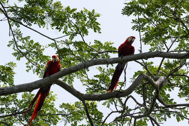 Scarlet macaw - ara macao. Beautiful wild scarlet macaw perched on a tree in the pacific coast of Costa Rica stock photos