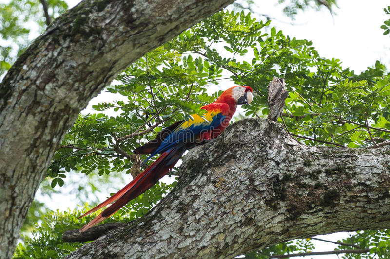 Scarlet macaw - ara macao. Beautiful wild scarlet macaw perched on a tree in the pacific coast of Costa Rica royalty free stock images