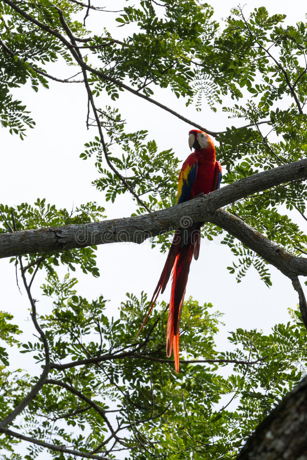 Scarlet macaw - ara macao. Beautiful wild scarlet macaw perched on a tree in the pacific coast of Costa Rica royalty free stock image