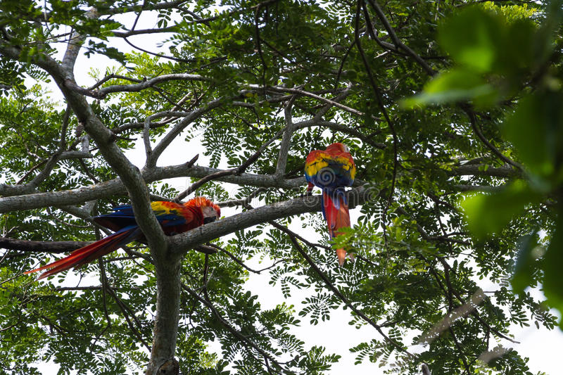 Scarlet macaw - ara macao. Beautiful wild scarlet macaw perched on a tree in the pacific coast of Costa Rica stock image