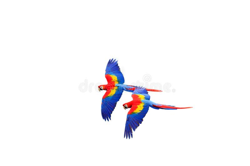 Scarlet macaw Ara macao flying  with white background. Macaw pair flying isolated stock images