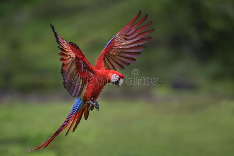 Scarlet Macaw - Ara macao stock photo