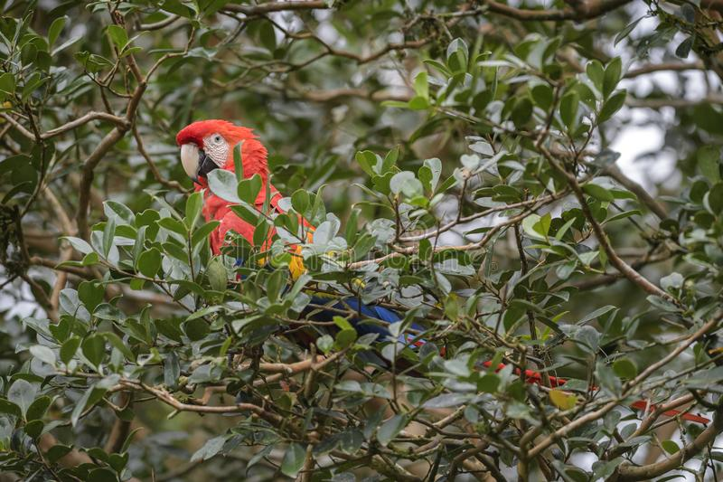 Scarlet Macaw - Ara macao. Large beautiful colorful parrot from New World forests, Costa Rica royalty free stock photography