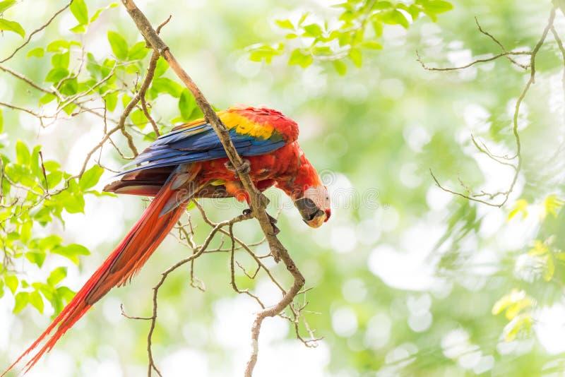 Beautiful Scarlet macaw Ara macao parrot. stock photography