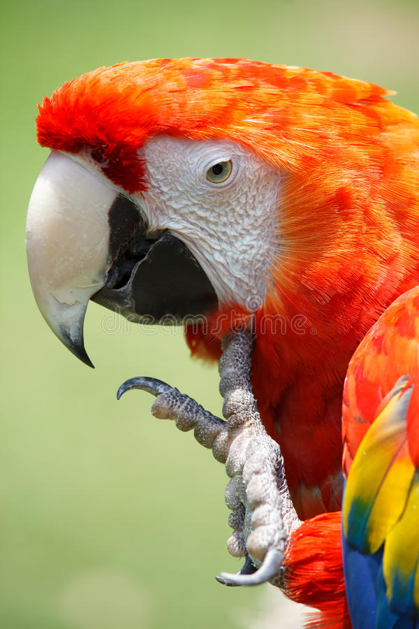 Download Scarlet Macaw stock photo. Image of bird, wilderness - 33032226