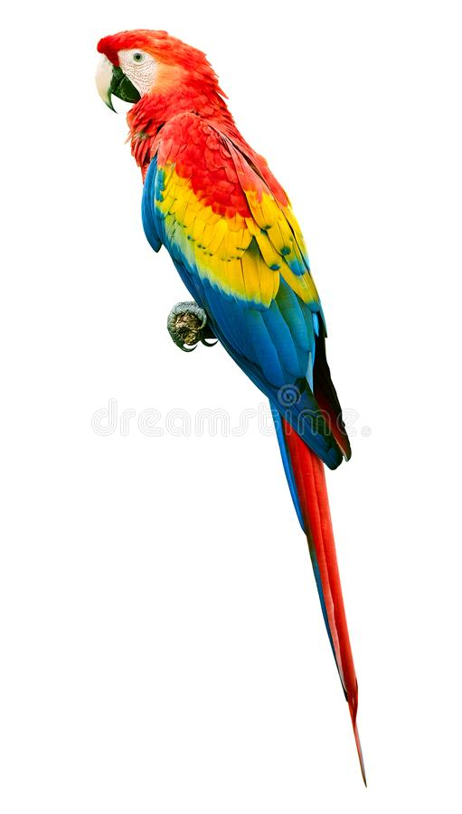Scarlet macaw Ara macao parrot bird isolated on white background. Large parrot stock photo