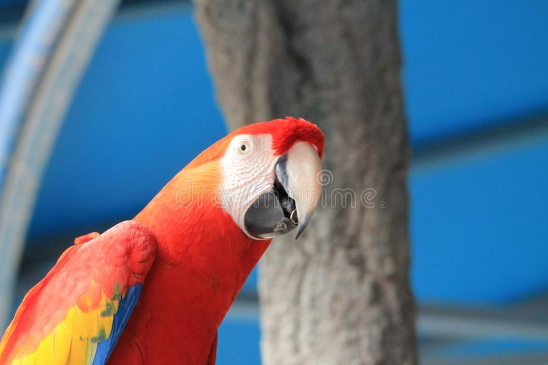 Scarlet macaw at Animal Kingdom. Scarlet macaw Ara macao portrait, closeup. Animal Kingdom show, Orlando, Florida royalty free stock image