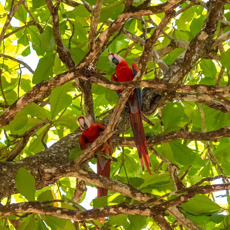 Scarlet macaw, parrots. Scarlet macaw, Ara macao, two beautiful parrots perched on a tree in Costa Rica stock photography