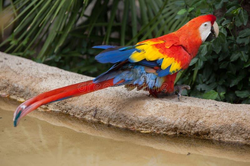 Scarlet macaw Ara macao. Wildlife animal stock photography