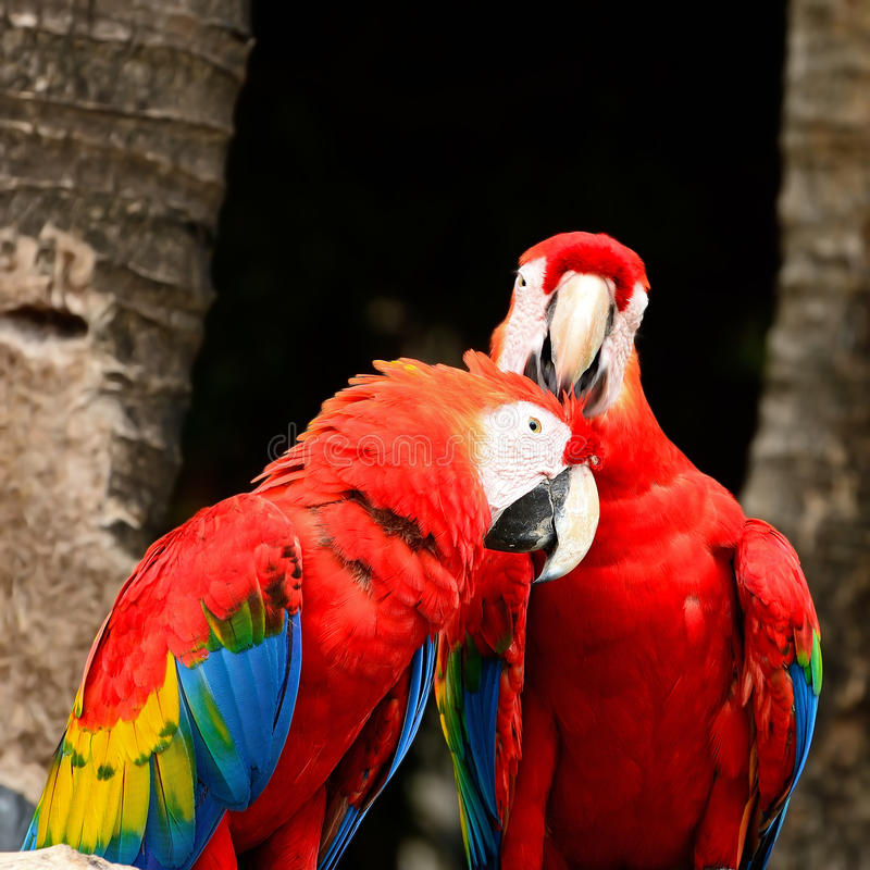 Download Scarlet Macaw Royalty Free Stock Photo - Image: 32674775