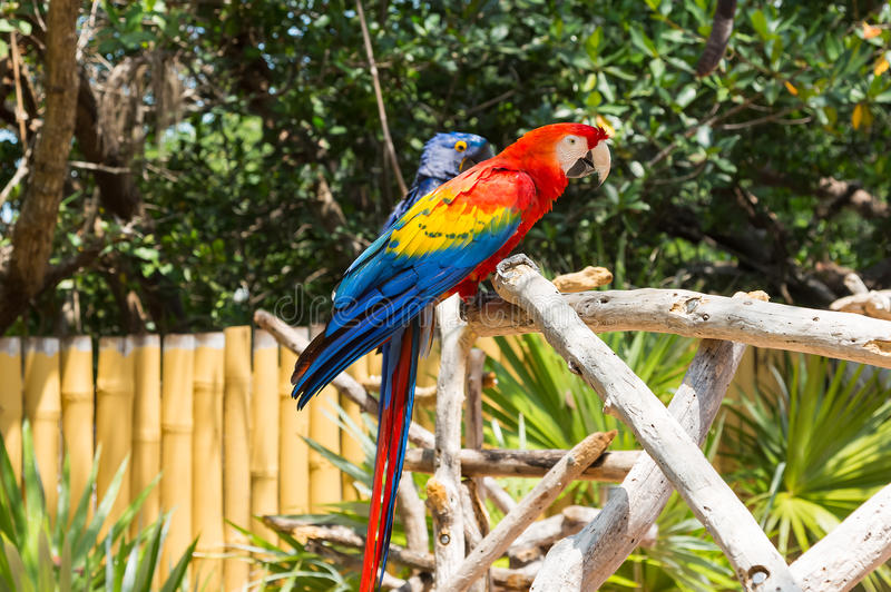 Download Scarlet Macaw stock image. Image of color, plumage, macaw - 33291867