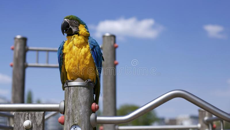 Scarlet Macaw on Brown Wooden Framed Metal Railing during Daytime in Macro Photography stock photography