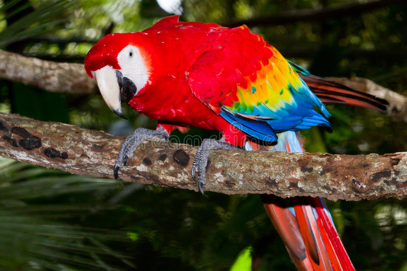 Scarlet macaw. Close up of a scarlet macaw in the rain forest of Belize royalty free stock image