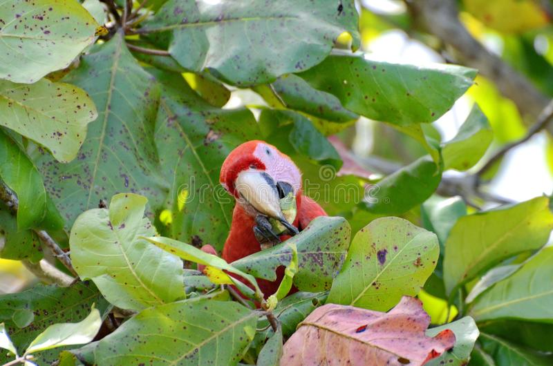 Scarlet Macaw eating in a tree. Osa Peninsula, Costa Rica stock photos
