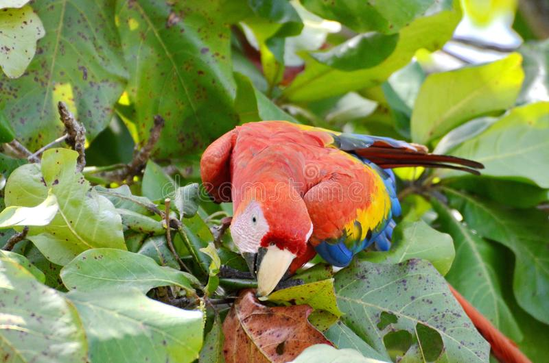 Scarlet Macaw eating in a tree. Osa Peninsula, Costa Rica royalty free stock photography