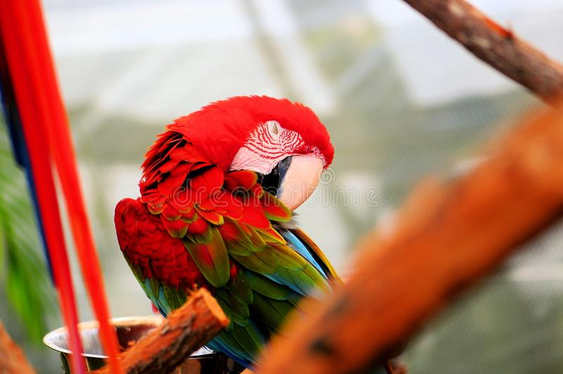 Scarlet macaw with eyes closed stock images