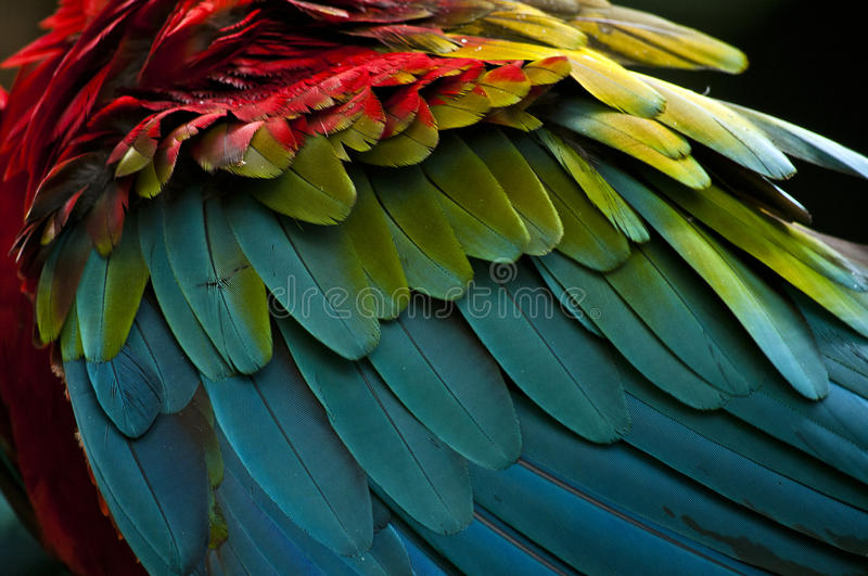 Scarlet Macaw feathers closeup. Colorful Scarlet Macaw feathers closeup royalty free stock photos