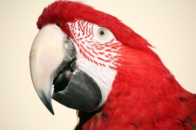 Scarlet macaw head shot royalty free stock photo