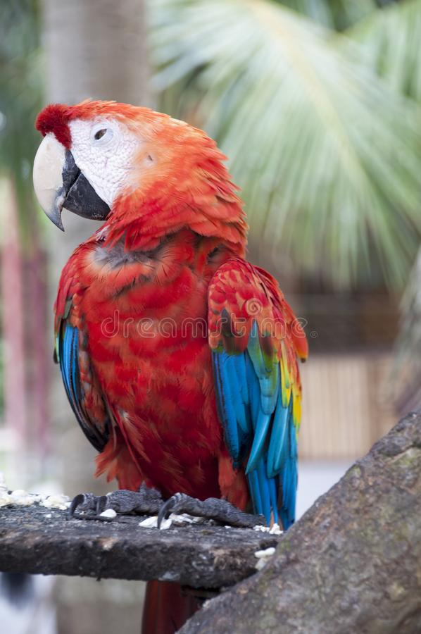 The Scarlet Macaw Is A Large Colorful Macaw It Is Native To Humid Evergreen Forests In The American Tropics Range royalty free stock photos