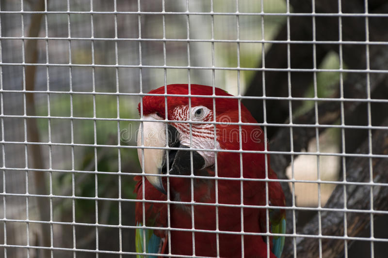Scarlet Macaw looking out through the bars of its cage stock images