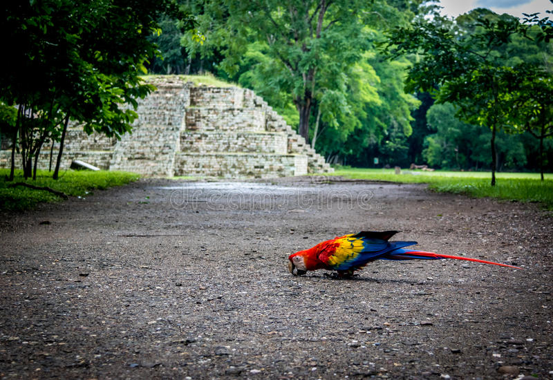 Scarlet Macaw at Mayan Ruins Archaeological site - Copan, Honduras stock images
