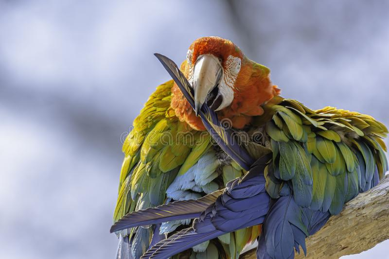 Scarlet macaw parrot perching on branch and cleaning its feathers.Colourful exotic bird portrait royalty free stock photo