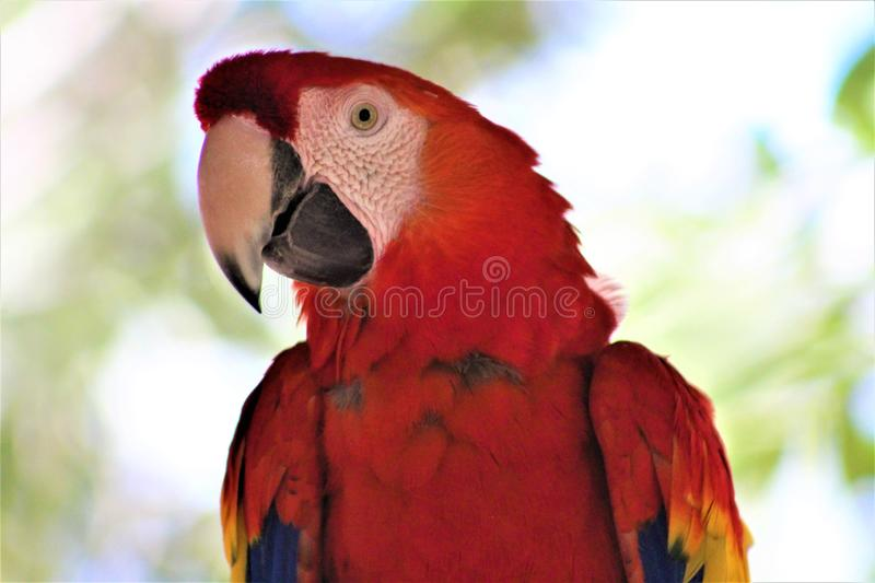 Scarlet Macaw Parrot at the Phoenix Zoo, Phoenix, Arizona, United States. Vibrant colorful red, blue and yellow Scarlet Macaw located in the desert at the royalty free stock images