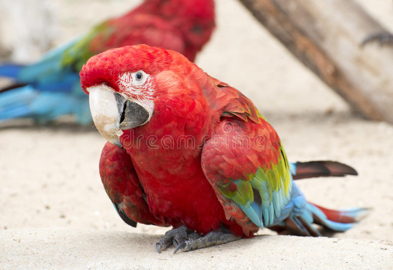 Scarlet Macaw Parrot Stock Images